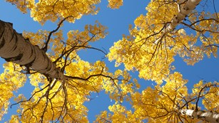Aspen trees in fall.