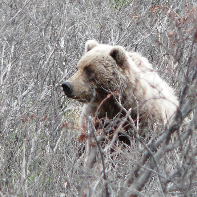 Grizzly bear sitting in brush