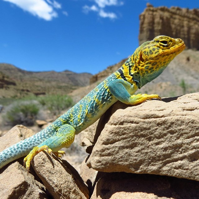 Collard lizard resting on a rock in Arches National Park