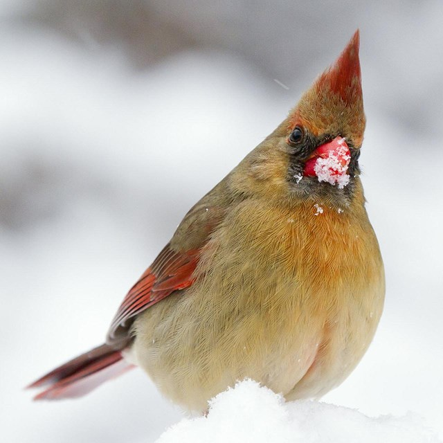 A female cardinal, close-up. looking at the camera with snow on her beak