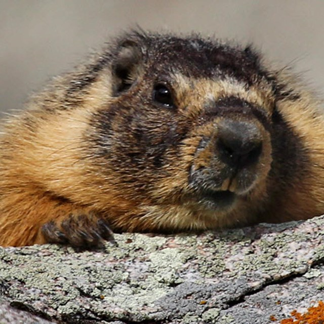 A marmot peers over a rock