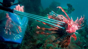 Park staff spearing an invasive lion fish
