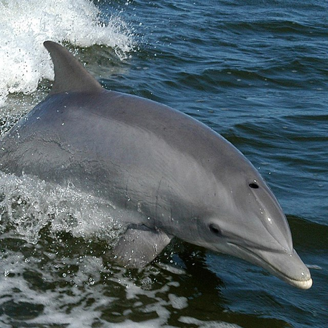 Gray dolphin jumping out of ocean.