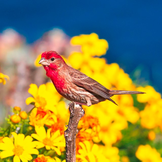 House Finch - ©Tim Hauf, timhaufphotography.com