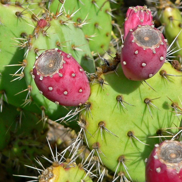 Prickly pear with fruit/tunas. By Stan Shebs