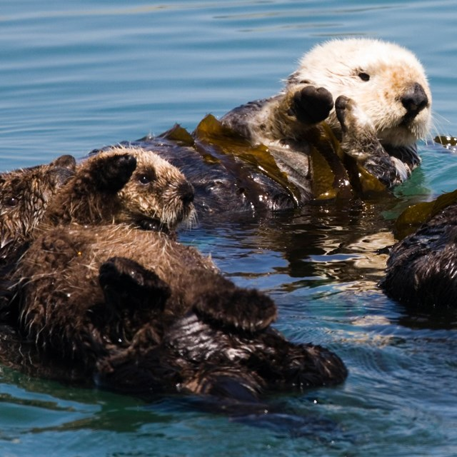 Group of sea otter floating on their back in ocean.