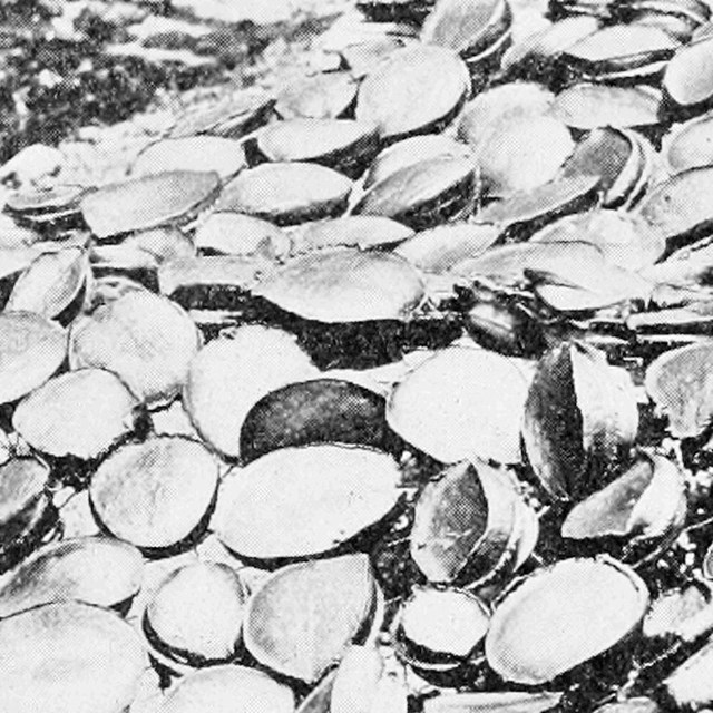 Black and white photo of abalone meat drying in the sun.