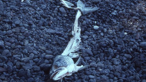 A fish skeleton laying on a beach