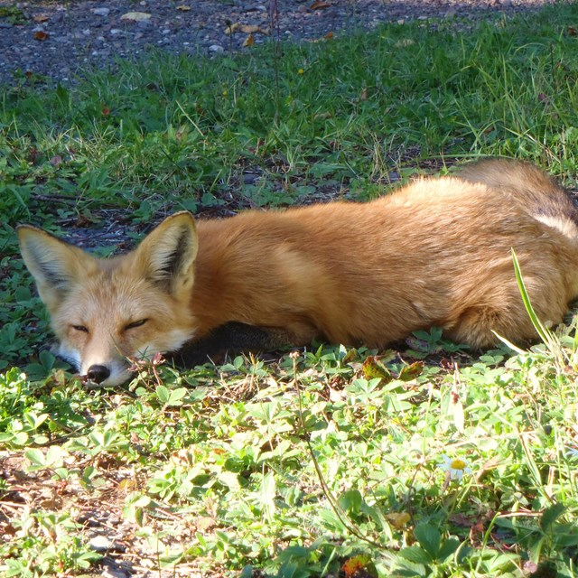 A red fox lays on the grass sleeping
