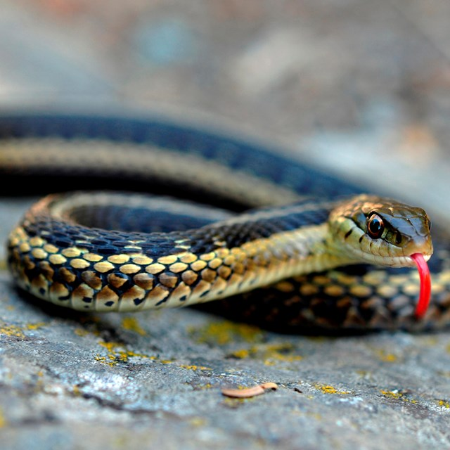 A black garter snake with a yellow stripe has a red tongue sticking out.