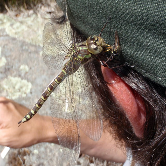 Lance-tipped darter dragonfly eating a wasp on an NPS employee's ballcap