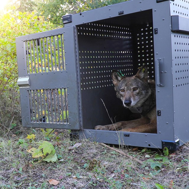 A gray wolf sits in a crate while being relocated to Isle Royale.