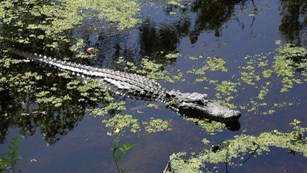 Alligator floating in water