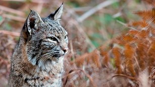 Close up of a bobcat gazing out through tall grass.