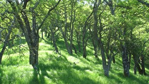 Blue Oak Woodland at John Muir National Historic Site