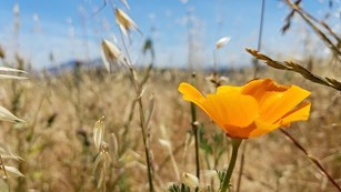 Bright orange poppy blooms among beige grasses.