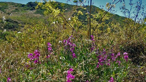 Picture of everlasting pea plant with pink blossoms at the side of the road.