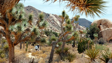 hikers on a trail seen through spiky Joshua trees
