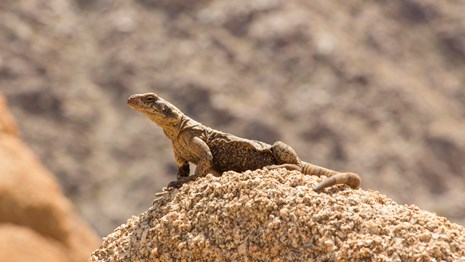 a large lizard sunning itself on a rock