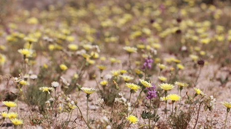 many wildflowers scattered across the desert soil