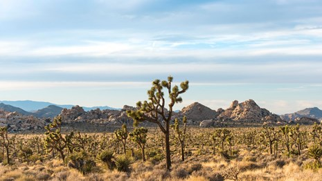 landscape with many Joshua trees and rounded rock formations