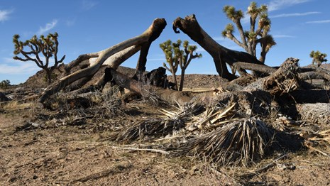 a fallen Joshua tree showing blackened burn marks from a past fire