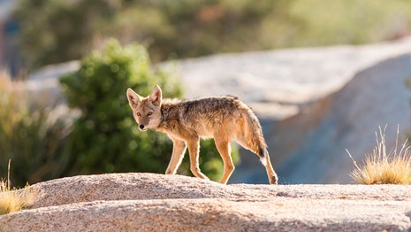 a scruffy coyote trots across open ground while looking back towards the camera