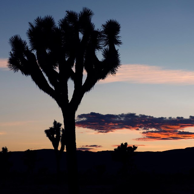 Silhouette of a Joshua tree backlit by a setting sun.