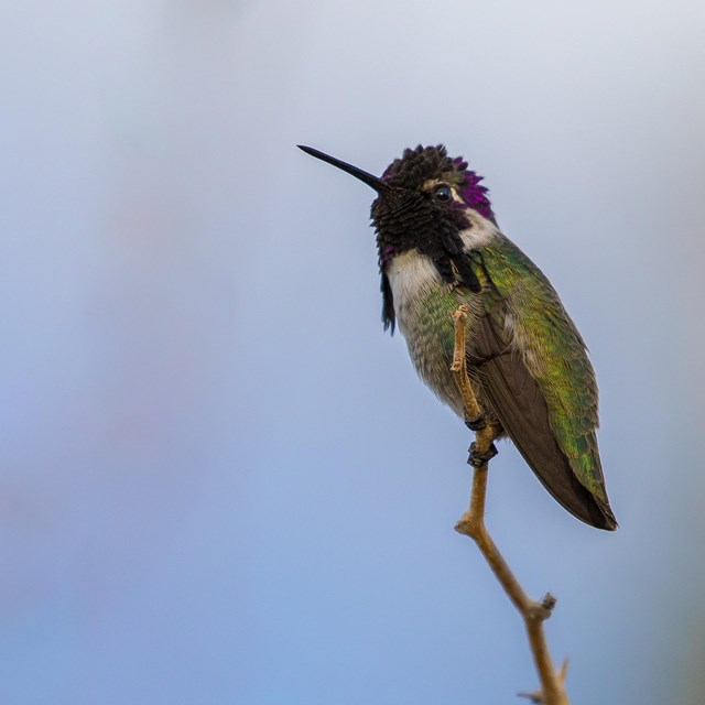 A Costa's humming bird sits atop a branch.