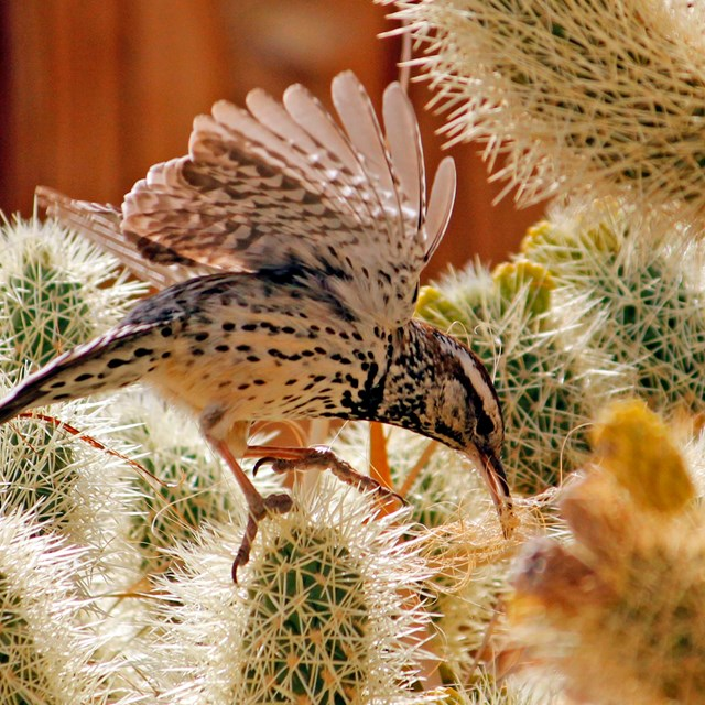 a bird balances among cactus spines with wings outstretched