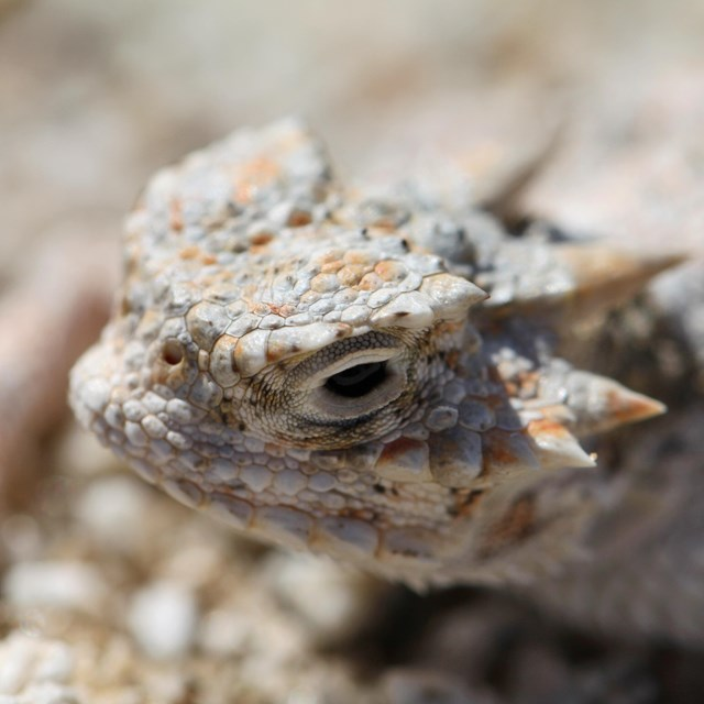 Close-up shot of a desert horned lizard's face. Horns are pronounced along side and back of head.