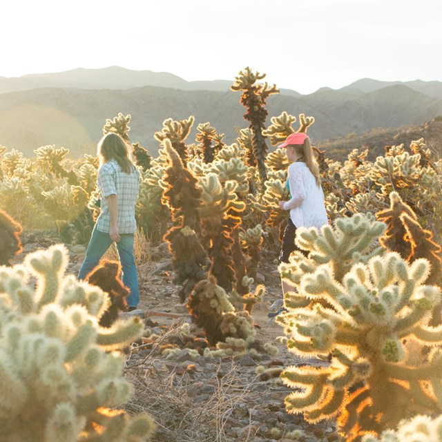 Color photo of two people walking through a large cholla cactus stand.