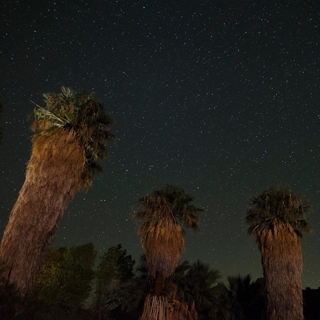 Color photo of the night sky behind massive palm trees lit by artificial light.