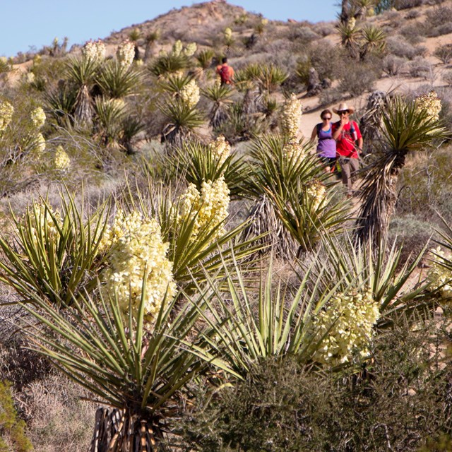 hikers among blooming yucca and other desert plants