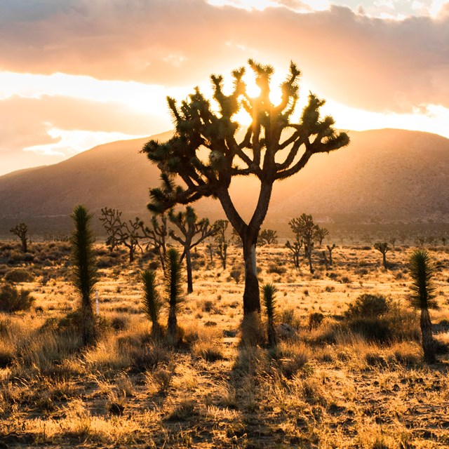 setting sun behind Joshua trees and mountains