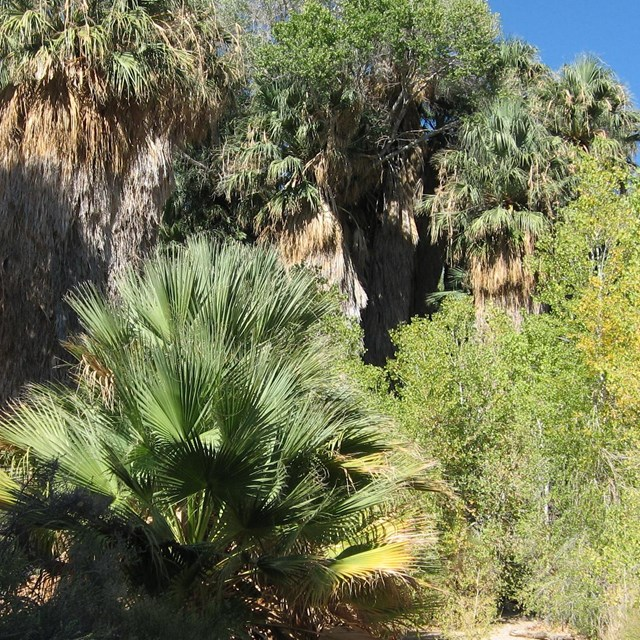 California fan palms and cottonwood trees at a desert oasis