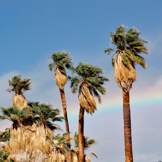 Color photo of massive palm trees with a rainbow in the background.