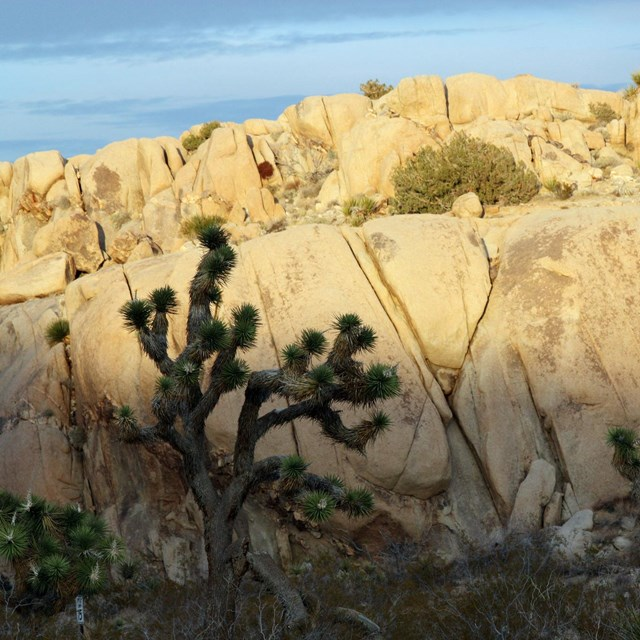Color photo of a couple of Joshua trees in front of a large boulder with deep cracks.