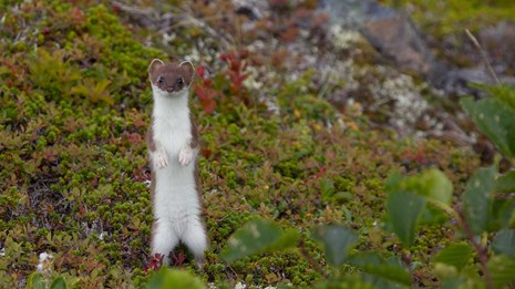 weasel stands on its hind legs among low-growing tundra plants