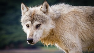 a white wolf with an intense gaze