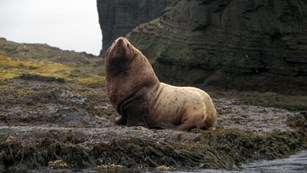 A sea lion on a rock along the shore