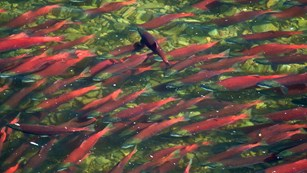 A school of red salmon swim in a shallow stream