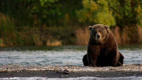 bear sitting on gravel bar near water