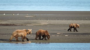 Bears walking on intertidal zone.