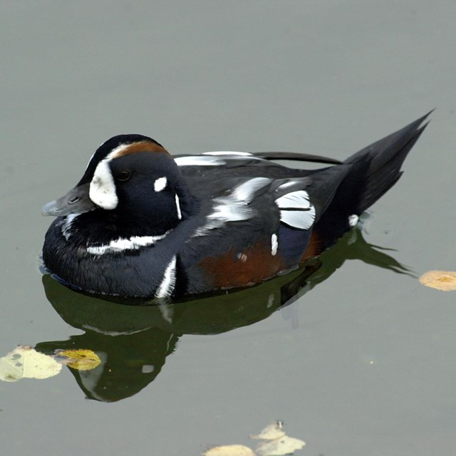 Harlequin Duck floating on water.