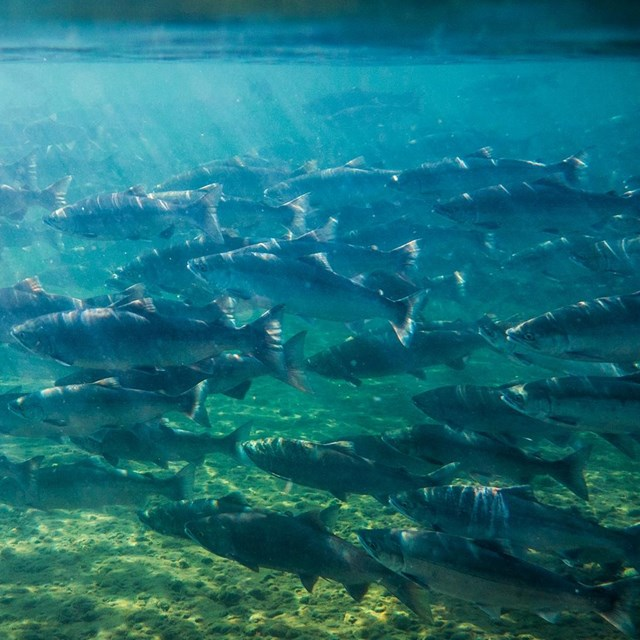 School of sockeye salmon underwater.