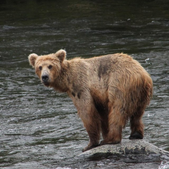 Brown bear standing on rock in river.
