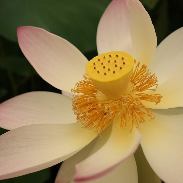 A white and pink lotus in full bloom