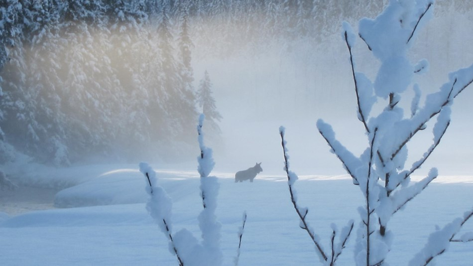 A moose struggles through deep snow along the Resurrection River.