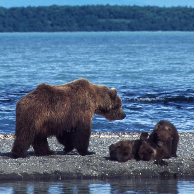 A female brown bear stands with three cubs on a beach shoreline.